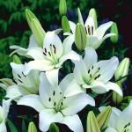 lilia azjatycka biala2